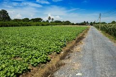 Lettuce in plots Royalty Free Stock Photography