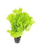 Lettuce in pot. Stock Photo