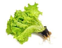 Lettuce in a pot Stock Image