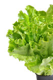 Lettuce in a pot isolated on a white Royalty Free Stock Photos