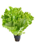 Lettuce in a pot isolated on a white Stock Photography