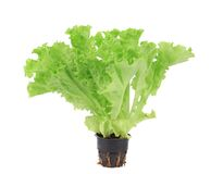 Lettuce in a pot. Royalty Free Stock Image