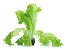 Lettuce in a pot Royalty Free Stock Photos