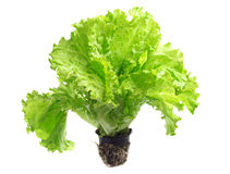 Lettuce in the pot for seedlings Royalty Free Stock Photography