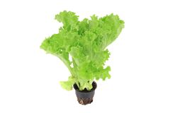 Lettuce in a pot Royalty Free Stock Photography