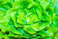 Lettuce raw and fresh harvested from the field stock image