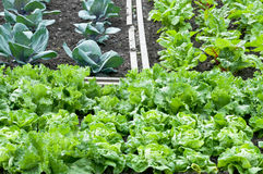 Lettuce and red cabbage on a patch Stock Image