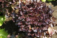 Lettuce red oak leaf. Oak leaf lettuce growing in a ground of an organic vegetable garden in the center of italy. tuft very massive and compact leaves with Stock Photo
