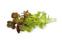 Lettuce or red oakleaf on white background Royalty Free Stock Images