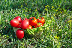 Lettuce, red tomatoes in a basket Royalty Free Stock Images