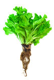 Lettuce with the root Royalty Free Stock Images