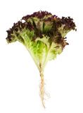 Lettuce with root Royalty Free Stock Photos