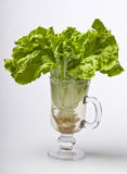 Lettuce with roots. In a glass of water stock image