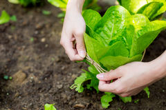 Lettuce with rope protection Stock Photography