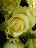 Lettuce rose. Close up shot of the heart of a pale yellow green lettuce rose Stock Images