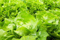 Lettuce row in the garden. Organic Green Lettuce Row In The Garden Stock Photo