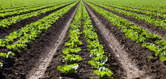 Lettuce Rows. Bright green rows of lettuce royalty free stock photo