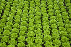 Lettuce in rows. Rows of green fresh butter-lettuce Royalty Free Stock Images