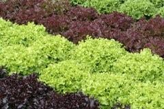 Lettuce rows. In a kitchen garden Royalty Free Stock Photos
