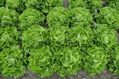 Lettuce in rows. Cabbage lettuce in parallel rows Stock Photography