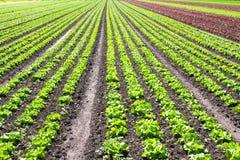 Lettuce rows Stock Photos