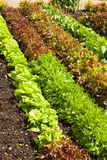 Lettuce Rows Stock Photos