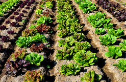 Lettuce Rows Royalty Free Stock Photo