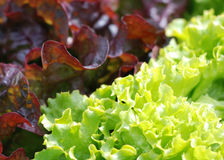 Lettuce for salad Stock Photography