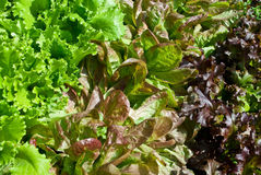 Lettuce salad Royalty Free Stock Images