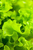 Lettuce salad Stock Photography