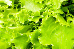 Lettuce salad Stock Image