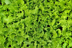 Lettuce salad Royalty Free Stock Photography