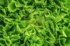 Lettuce salad background texture Stock Image