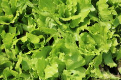 Lettuce or salad Royalty Free Stock Image
