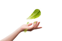Lettuce salad in hand on a white background Stock Image