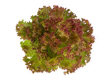 Lettuce salad leaf Stock Photo