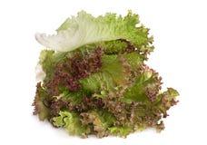 Lettuce salad leaf Stock Image
