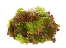 Lettuce salad leaf royalty free stock image