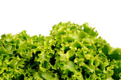 Lettuce salad leaves Stock Photography
