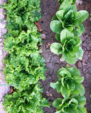 Lettuce and salad organic cultivation Royalty Free Stock Photo