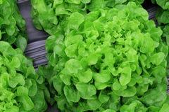 Lettuce salad plantation, organic vegetable. royalty free stock photos