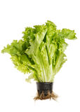 Lettuce salad in pot Stock Photos