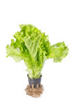 Lettuce salad in the pot isolated on white Royalty Free Stock Image