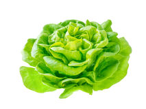 Lettuce salad rosette head with water drops. Side view  on white Royalty Free Stock Photography