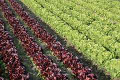 Lettuce. Salad rows farming field detail Stock Photography