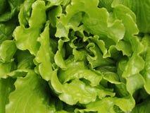 Lettuce sativa Stock Photo