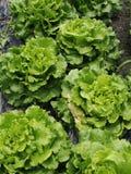Lettuce sativa Stock Image