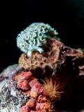 Lettuce Sea slug underwater at night Stock Images