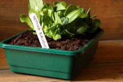 Lettuce in seed tray 2 Royalty Free Stock Photography