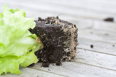 Lettuce seedling with earth Stock Images